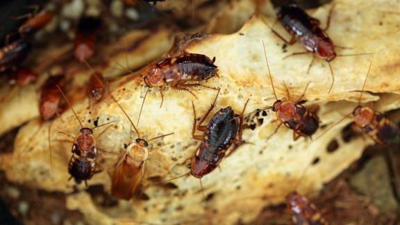 Kolonie švábů