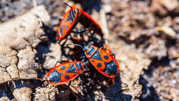 Ruměnice pospolná (Pyrrhocoris apterus)