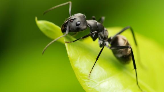 Mravenec obecný (Lasius niger)