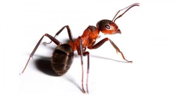 Mravenec černolesklý (Lasius fuliginosus)
